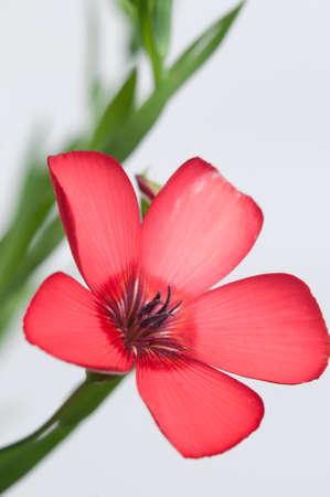 linum: Flax (Linum grandiflorum) flowers over light , close up shot, local focus