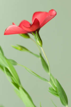 linum: Flax (Linum grandiflorum) flowers over green background, close up shot, local focus