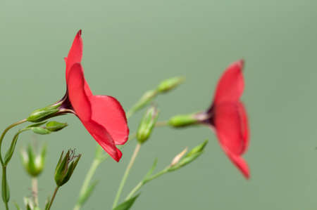 linum: Flax (Linum grandiflorum) flowers over green , close up shot, local focus