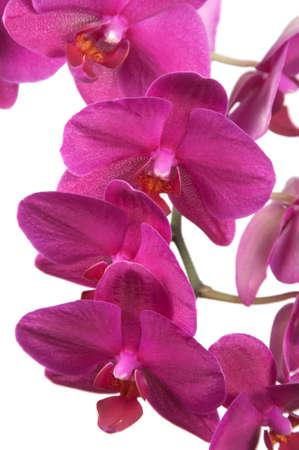 animalitos tiernos: Flores de las orqu�deas Phalaenopsis aislados en blanco (orqu�dea mariposa)