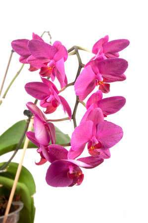 orchid house: Phalaenopsis orchid flowers isolated on white (butterfly orchid) Stock Photo