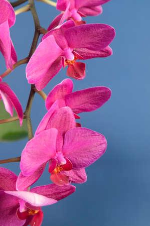 animalitos tiernos: Flores de las orquídeas Phalaenopsis sobre fondo azul (orquídea mariposa) Foto de archivo
