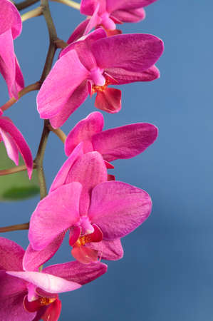 orchid house: Phalaenopsis orchid flowers over blue background (butterfly orchid)