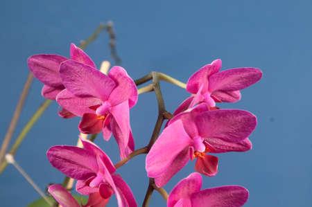 animalitos tiernos: Flores de las orqu�deas Phalaenopsis sobre fondo azul (orqu�dea mariposa) Foto de archivo