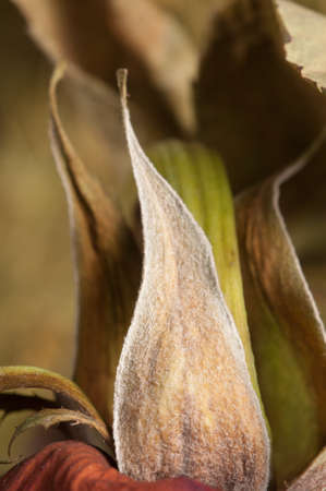 sepals: Dry rose sepals, macro shot, local focus