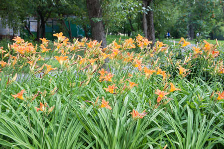 day lily: Day lily flowers in a park view