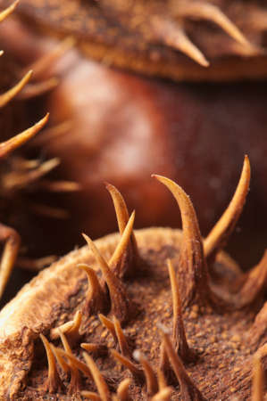 horse chestnuts: Horse chestnuts on a timber board, macro shot