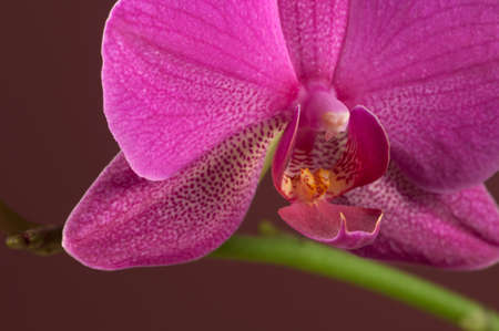 pink flower: Phalaenopsis orchid flower on a brown background (butterfly orchid)