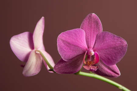 pink and green: Phalaenopsis orchid flowers on a brown background (butterfly orchid)