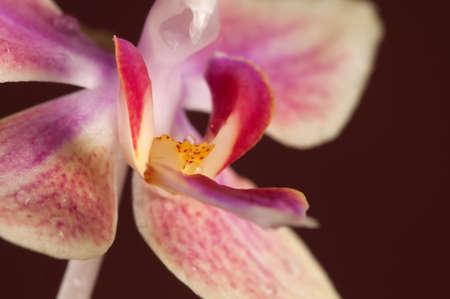 animalitos tiernos: flores de orqu�deas Phalaenopsis sobre un fondo marr�n (orqu�dea mariposa)