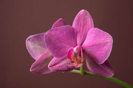 orchid house: Phalaenopsis orchid flowers on a brown background (butterfly orchid)