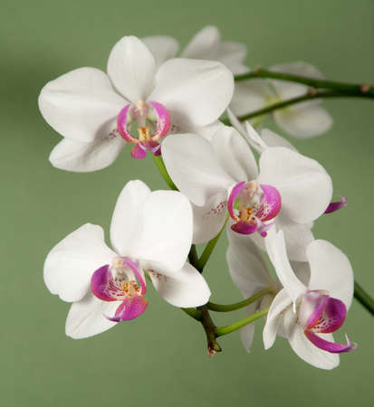 orchid house: Phalaenopsis orchid flowers on a green background (butterfly orchid)