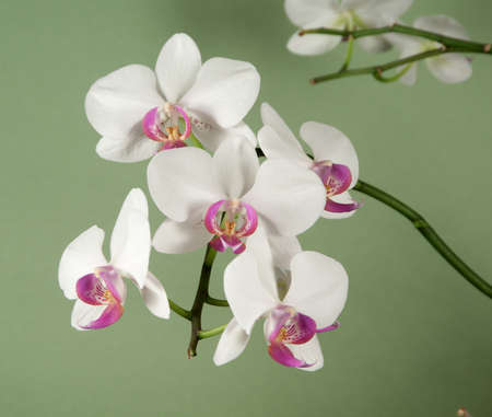 pink and green: Phalaenopsis orchid flowers on a green background (butterfly orchid)