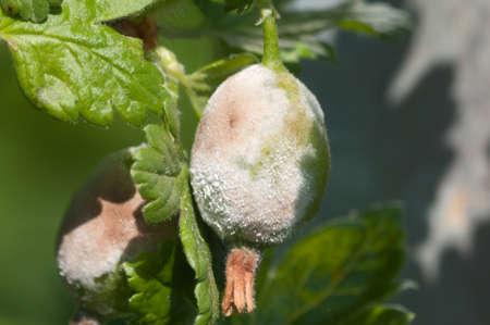berryes: Powdery Mildew, a fungus illness of plants, on gooseberries