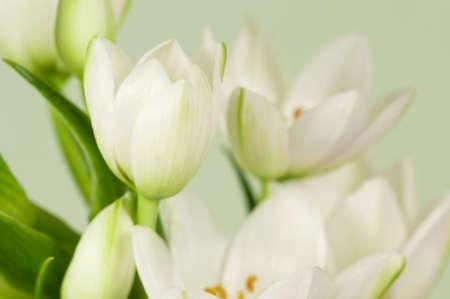 ornithogalum: Chinkerichee (Ornithogalum thyrsoides) flowers, close up shot