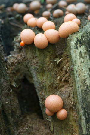 slime: Mushrooms (slime mould Lycogala epidendrum)  on an old stump