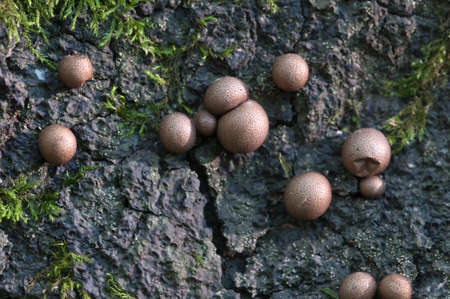 mould: Mushrooms (slime mould Lycogala epidendrum)  on an old stump