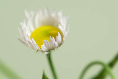 oxeye: ox-eye daisy flower on green background, close up