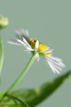 officinal: ox-eye daisy flower on green background, close up