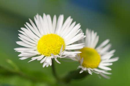 oxeye: ox-eye daisy flower on blue background Stock Photo