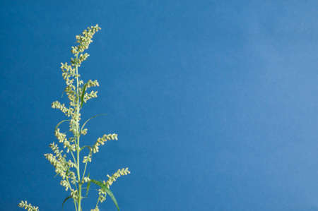 felon: Wormwood plant over blue background, close up