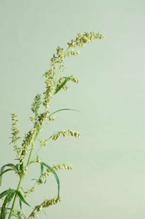 officinal: Wormwood plant over green background, close up