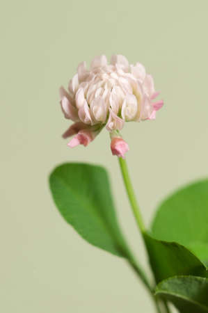 officinal: Clover flower over green background, close up