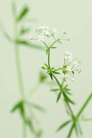 officinal: Galium album flowers over green background, closeup Stock Photo
