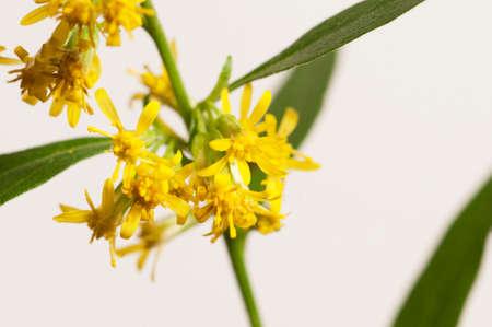 goldenrod: Solidago flowers over light background, close up Stock Photo