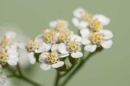 officinal: Achillea flowers over green background, close up Stock Photo