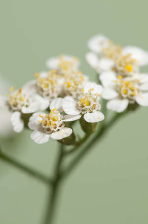 Achillea flowers over green background, close up Stock Photo