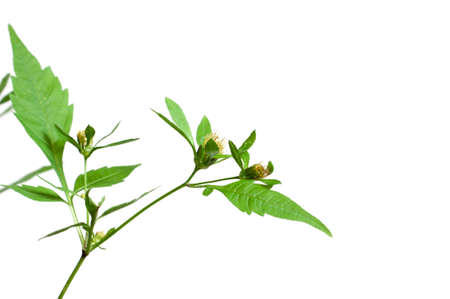 officinal: Bidens tripartita on a green background, closeup Stock Photo