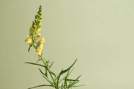 officinal: Toadflax flowers over green background, closeup