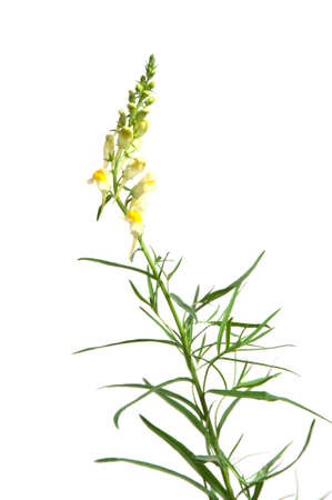 Toadflax flowers over white background, closeup