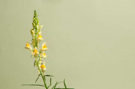 Toadflax flowers over green background, closeup