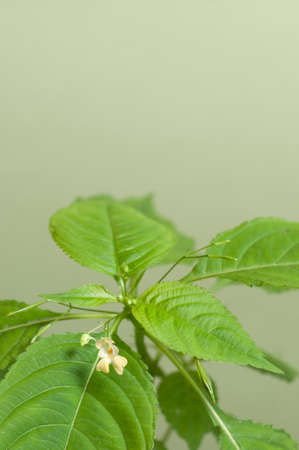 Impatiens parviflora on a green background, close up