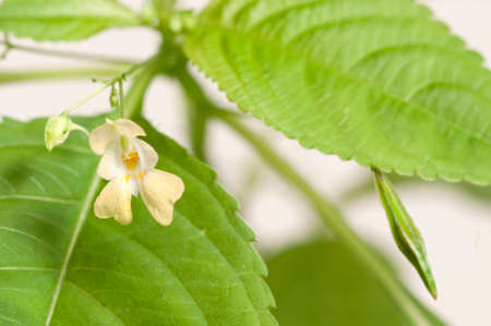 Impatiens parviflora on a white background, close up Stock Photo