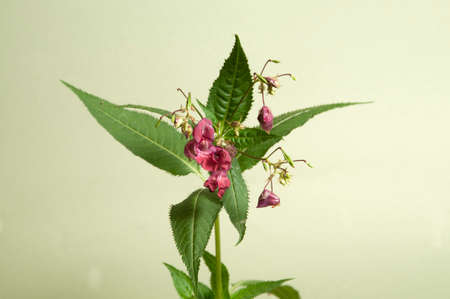 Impatiens glandulifera on a green background, close up Stock Photo