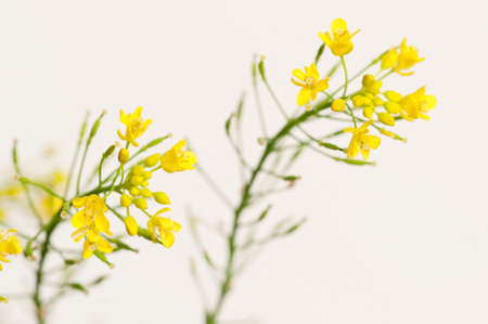 officinal: Upland cress on a light background, close up shot