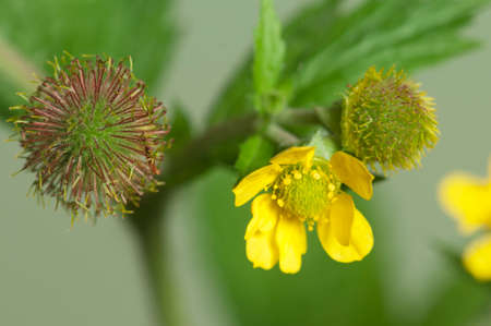 officinal: Geum aleppicum on a light background, close up