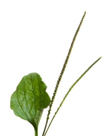 Plantago major isolated on whitr background, close up