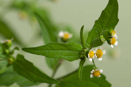 Galinsoga flowers on a green background, close up Stock Photo