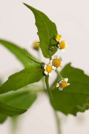 Galinsoga flowers on a light background, close up Stock Photo