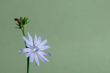 Cichorium intybus on a green background, close up