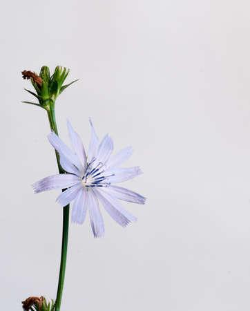 Cichorium intybus on a light background, close up