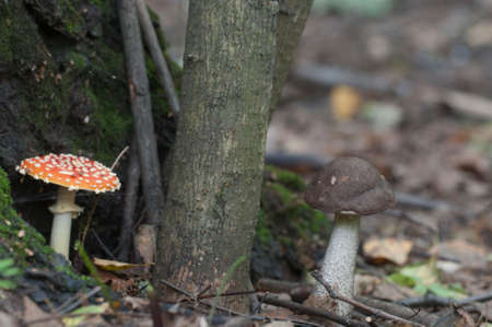 bolete: Toadstool and brown birch bolete mushrooms near the forest tree, closeup Stock Photo