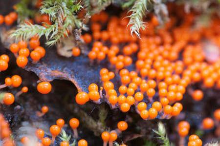 plasmodium: Mushrooms (slime mould Trichia decipiens )  on an old stump