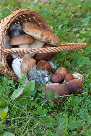 mushrooming: Bolete mushrooms in a basket in a grass Stock Photo