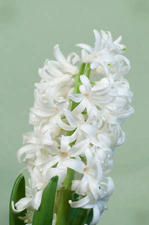 Hyacinth flowers close up soot, green background Stock Photo