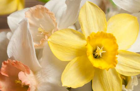 Narcissus flowers macro shot local focus